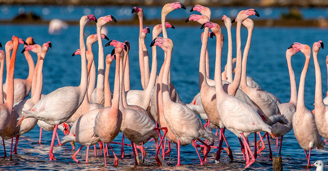 A colony of 550 Flamingos were born in the Algarve